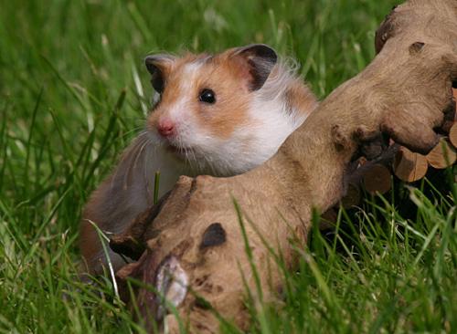 Hamster freie Filme Junge Sex-Karikaturen